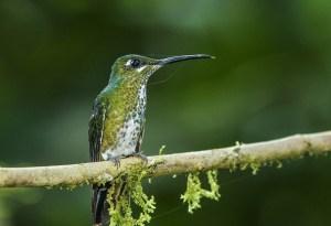 Many Spotted Hummingbird