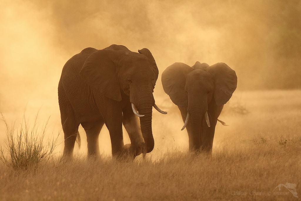 'Loxodonta africana' by Silvestr Szabó