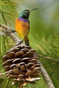 Orangebreasted Sunbird
