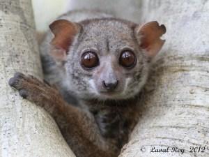 Your eyelids are heavy, your eyelids are heavy - Milne-Edwards Sportive Lemur