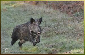 European Wildboar on the Run