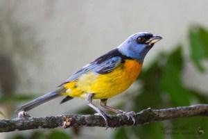 Blue-and-yellow Tanager Pipraeidea bonariensis