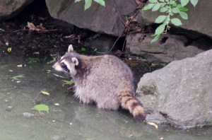 Raccoon in Central Park