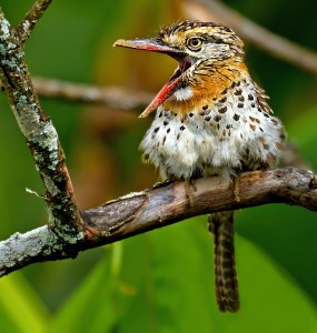 Spot-backed Puffbird-Nystalus maculatus