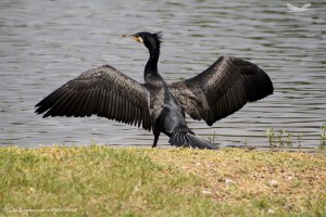 Great Cormorant- Phalacrocorax Carbo