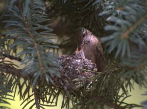 Broad Tailed Hummingbird Feeding Her Chick
