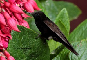 Black Metaltail. Metallura Phoebe