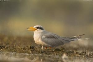 River Tern | Sterna Aurantia