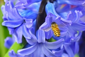 Honey Bee and Hyacinthus Orientalis