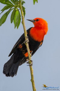 Federal (Scarlet-headed Blackbird)