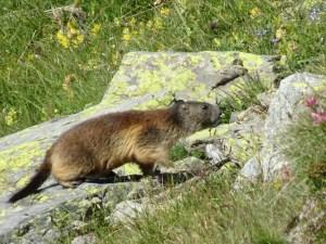 Marmot on a Stroll