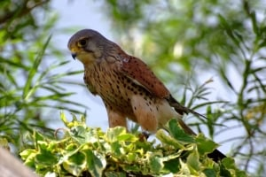 Kestrel on Tree