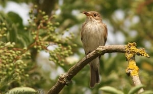 Spotted Flycatcher with Fly