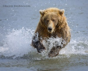 Coastal Brown Bear