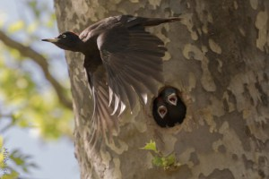 Black Woodpecker After Feeding Youngsters.