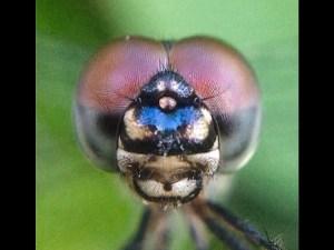 Dragonfly Fashion Model