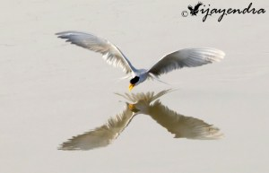 River Tern diving for fish