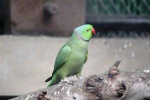Rose-ringed Parrot