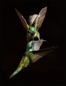 Fighting Hummingbirds