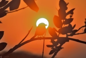 In Middle of the Sunrise - Southern Grey Shrike