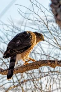 Cooper's Hawk - Accipter Cooperii