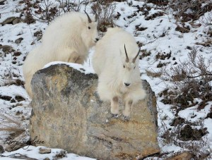 Mountain Goats Playing on the Rocks