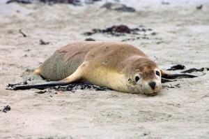Australian Sea Lion on Kangaroo Island