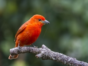 Hepatic Tanager in Brazil