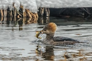 Hooded Merganser with a Perch