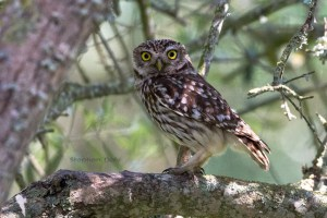 Little Owl sitting in a Wild Olive Tree