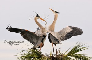 Local Wetlands Never Disappoint - Great Blue Herons