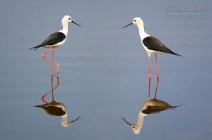 On Reflection - Black-winged Stilts