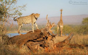 Stumped by a Cheetah
