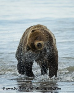 Alaskan Brown Bear after a swim