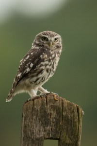 One of the most beautiful raptors - the Little Owl
