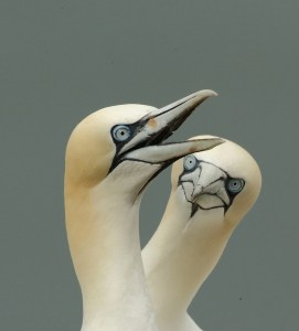 Gannets in Love