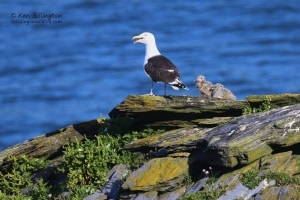 Proud Father - Great Black-backed Gull with Chicks