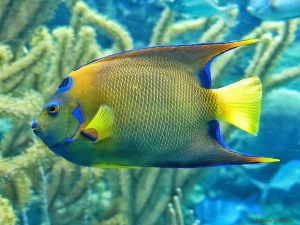 Colors in the Sea - Queen Angelfish