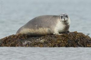 Harbor Seal (Phoca Vitulina) Resting