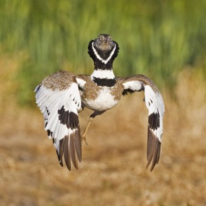 Little Bustard Displaying