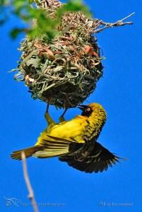 Reunion Weaver: Nest Building