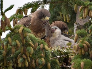 Swainson's Hawk and Chick