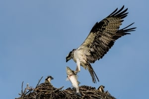 Osprey with Striper