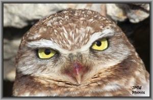 Burrowing Owl on Antelope Island