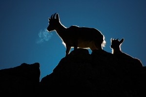 Mountain goat and cold in Spain