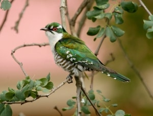 Diedrick Cuckoo