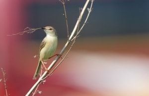Plain Prinia Nesting Material