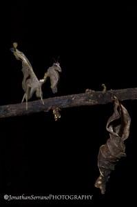 Dry-leaf Mantis