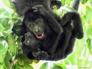 Oh No! - Howler-monkey Mama Protecting Baby
