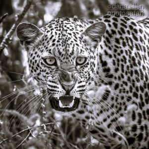 Leopards of Luangwa